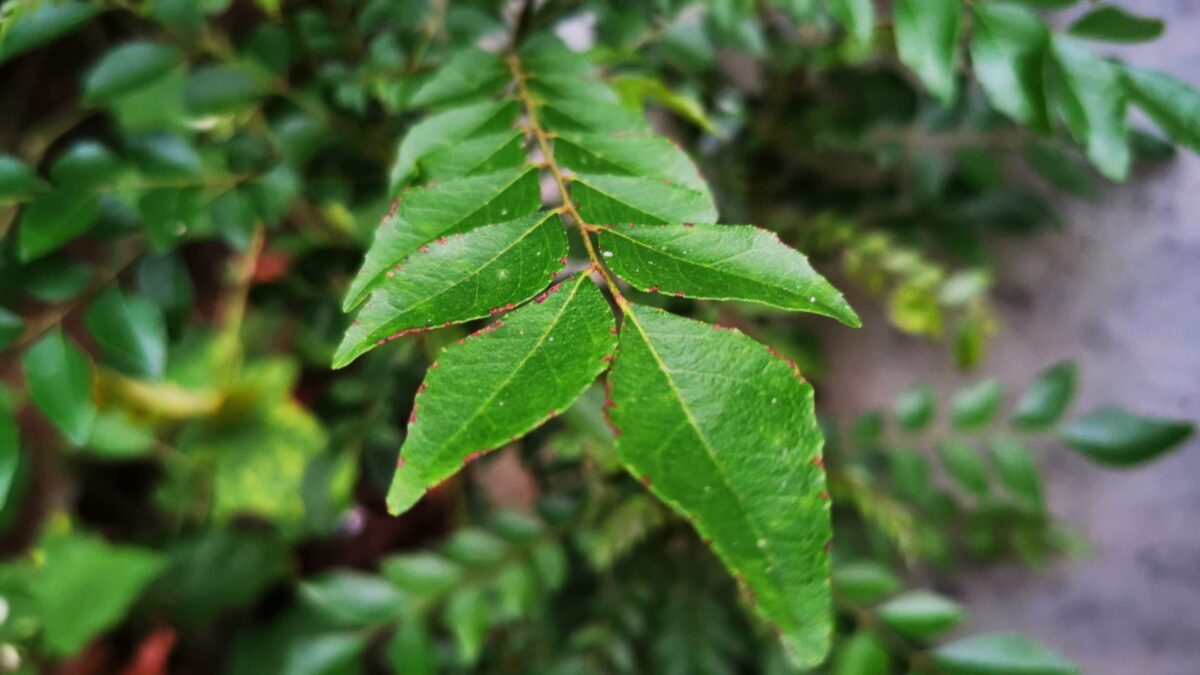 curry leaves,curry tree