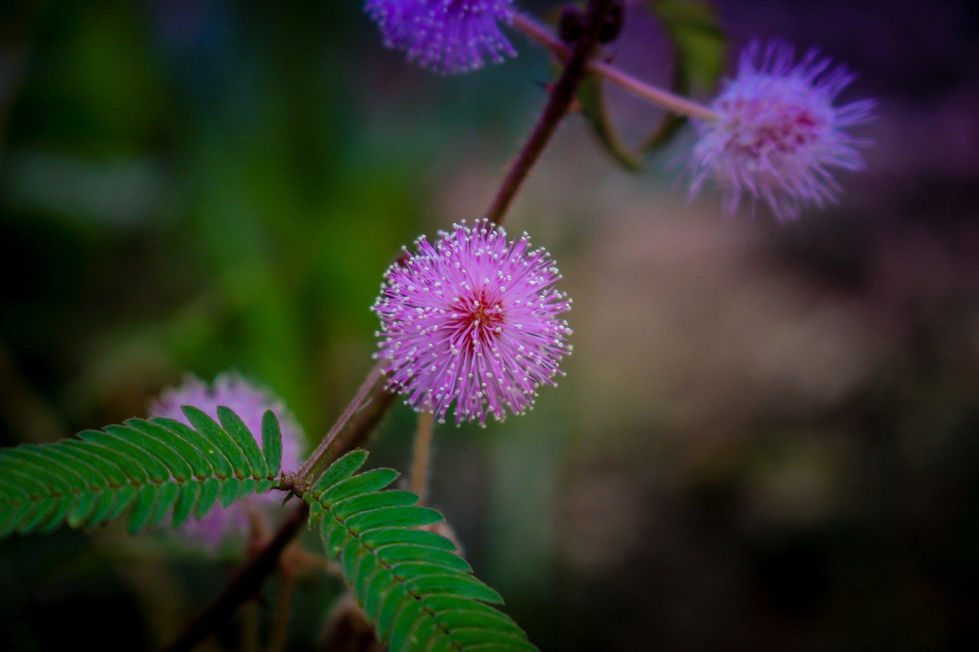 Mimosa Pudica Nidikumba