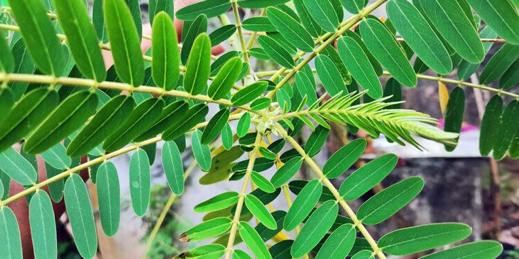 kathurumurunga-Sesbania grandiflora