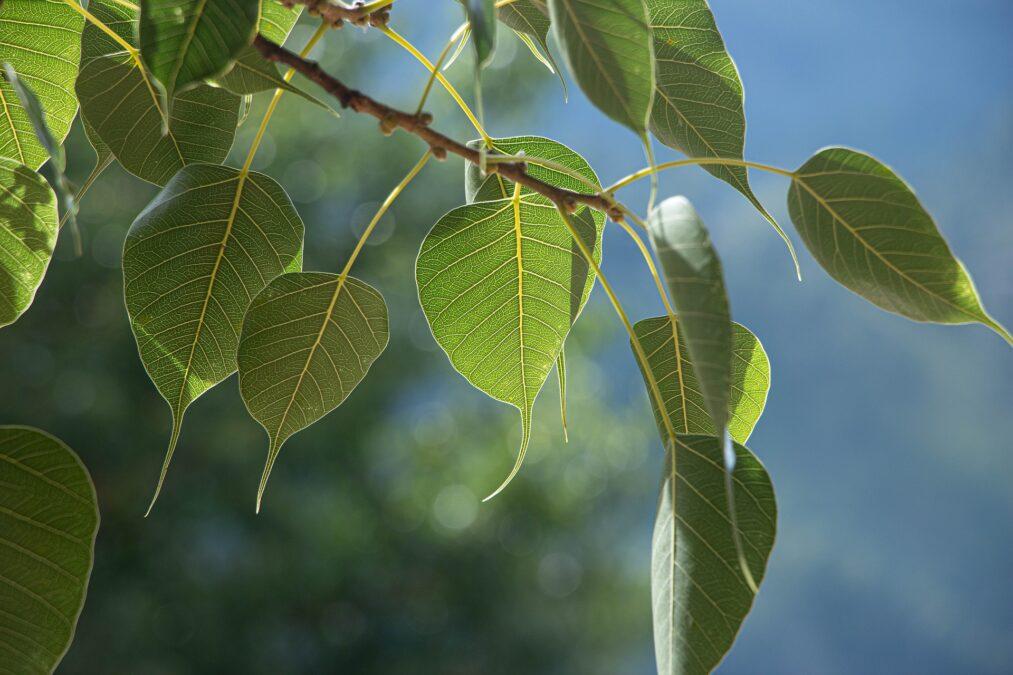BO tree leaf