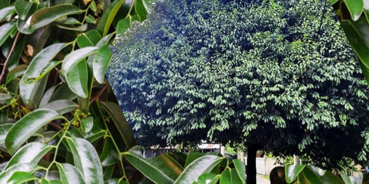 kaluwara tree